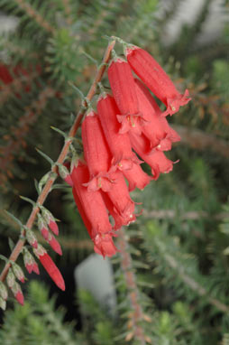 APII jpeg image of Epacris sp. nov. aff. impressa  © contact APII