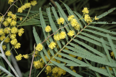 APII jpeg image of Acacia olsenii  © contact APII