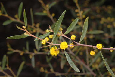 APII jpeg image of Acacia verricula  © contact APII