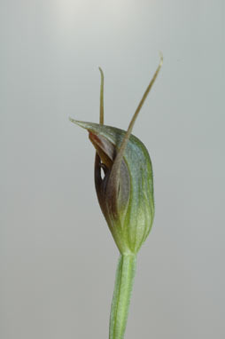 APII jpeg image of Pterostylis erecta  © contact APII