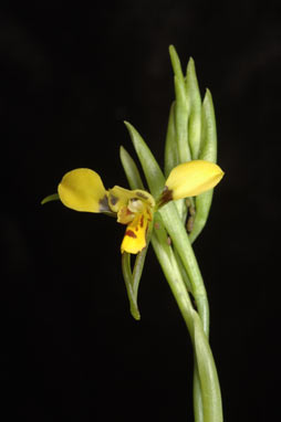 APII jpeg image of Diuris abbreviata  © contact APII