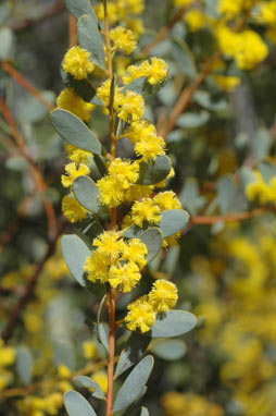 APII jpeg image of Acacia buxifolia  © contact APII