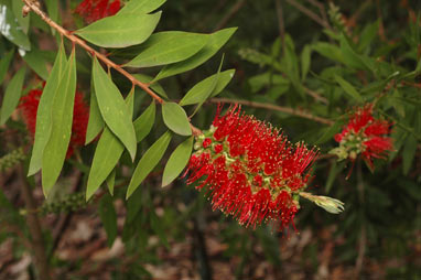 APII jpeg image of Callistemon acuminatus 'Nabiac Red'  © contact APII