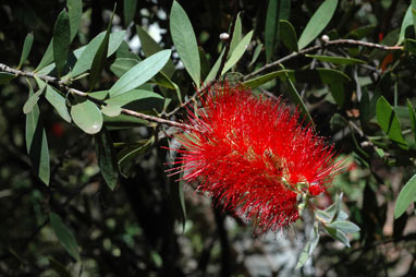 APII jpeg image of Callistemon citrinus 'Splendens'  © contact APII