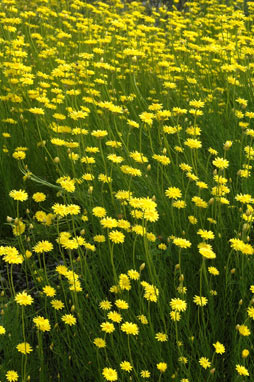APII jpeg image of Schoenia filifolia subsp. subulifolia  © contact APII