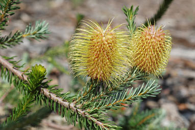 APII jpeg image of Banksia pulchella  © contact APII