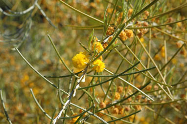 APII jpeg image of Acacia ashbyae  © contact APII