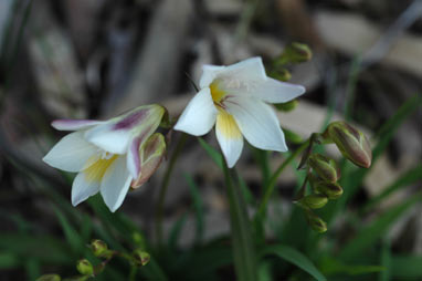 APII jpeg image of Freesia alba X Freesia leichtlinii  © contact APII