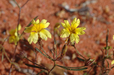 APII jpeg image of Goodenia berardiana  © contact APII