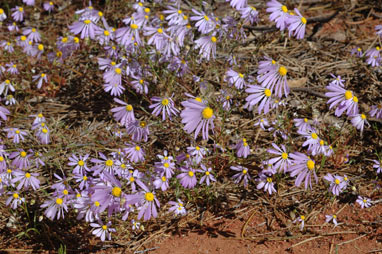 APII jpeg image of Brachyscome iberidifolia  © contact APII