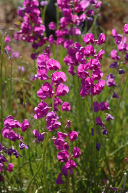 APII jpeg image of Swainsona purpurea  © contact APII