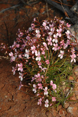 APII jpeg image of Stylidium longibracteatum  © contact APII