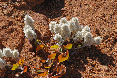 APII jpeg image of Ptilotus roei  © contact APII