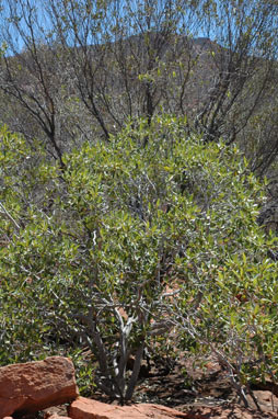 APII jpeg image of Ficus brachypoda  © contact APII