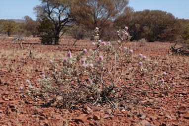 APII jpeg image of Ptilotus rotundifolius  © contact APII