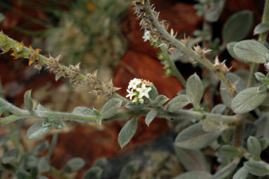 APII jpeg image of Heliotropium ovalifolium  © contact APII