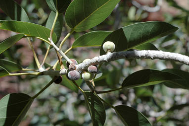 APII jpeg image of Ficus platypoda  © contact APII