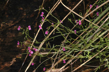 APII jpeg image of Stylidium fluminense  © contact APII
