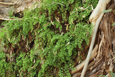 APII jpeg image of Adiantum capillus-veneris  © contact APII