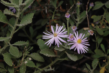 APII jpeg image of Olearia xerophila  © contact APII