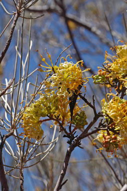 APII jpeg image of Grevillea gordoniana  © contact APII