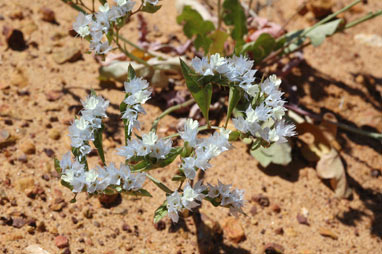 APII jpeg image of Limonium lobatum  © contact APII