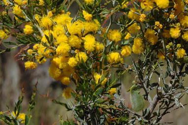 APII jpeg image of Acacia erinacea  © contact APII
