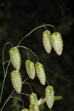 APII jpeg image of Briza maxima  © contact APII