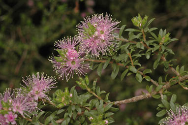 APII jpeg image of Kunzea ambigua x capitata  © contact APII