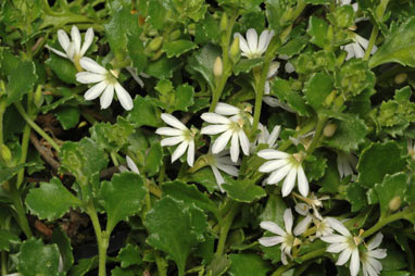 APII jpeg image of Scaevola albida 'White Carpet'  © contact APII