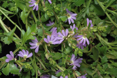 APII jpeg image of Scaevola albida 'Super Cluster'  © contact APII