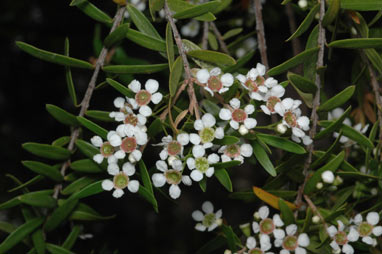 APII jpeg image of Babingtonia pluriflora 'White Cascade'  © contact APII