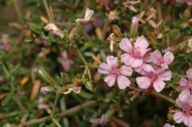 APII jpeg image of Frankenia crispa  © contact APII