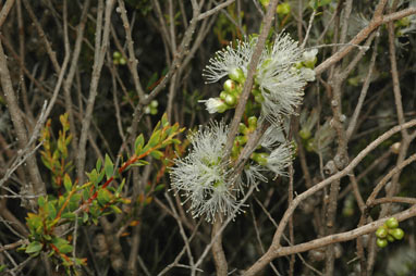 APII jpeg image of Melaleuca lateriflora  © contact APII