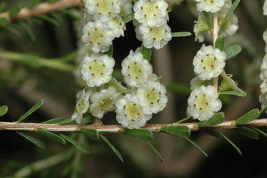 APII jpeg image of Thryptomene parviflora  © contact APII