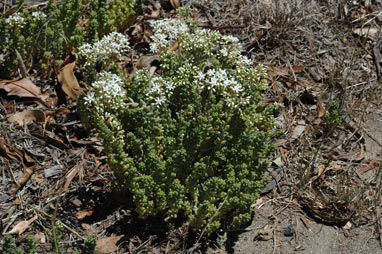 APII jpeg image of Sedum album  © contact APII