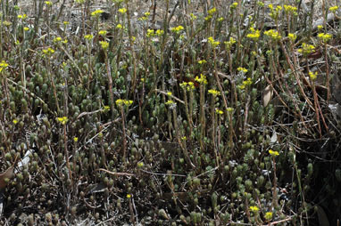 APII jpeg image of Sedum rupestre  © contact APII