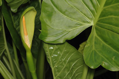 APII jpeg image of Alocasia brisbanensis  © contact APII