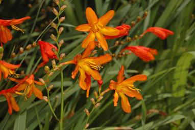 APII jpeg image of Crocosmia x crocosmiiflora  © contact APII