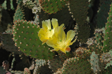 APII jpeg image of Opuntia dillenii  © contact APII