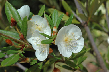 APII jpeg image of Eucryphia wilkiei  © contact APII