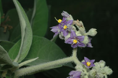APII jpeg image of Solanum mauritianum  © contact APII