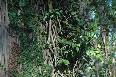 APII jpeg image of Ficus pumila  © contact APII