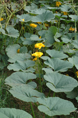 APII jpeg image of Cucurbita maxima  © contact APII