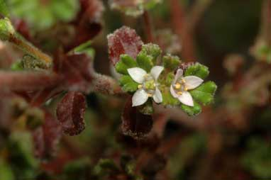 APII jpeg image of Zieria obcordata  © contact APII
