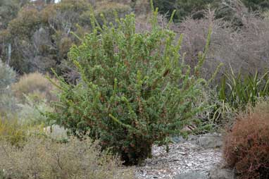 APII jpeg image of Grevillea iaspicula  © contact APII