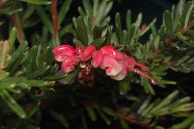 APII jpeg image of Grevillea 'Tuckers Dwarf'  © contact APII