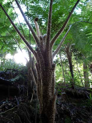 APII jpeg image of Cyathea cooperi  © contact APII