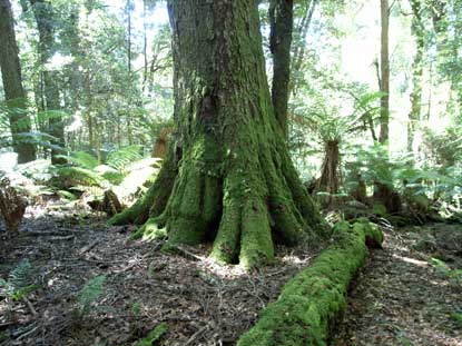 APII jpeg image of Nothofagus moorei  © contact APII