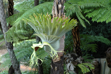 APII jpeg image of Platycerium superbum  © contact APII